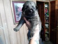 We have 3 female puppies available 1 black sable plush