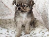 Super cute and tiny male AKC long hair chihuahua.