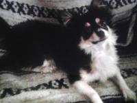 Ditz is a beautiful AKC long haired chi blk and wht