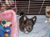 AKC LONG HAIRED CHIHUAHUAS PRE-SPOILED & WILL BE SMALL.