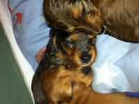 3 male AKC mini-dachshund puppies for sale.  One