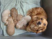 Beautiful AKC long haired miniature dachshund puppies -