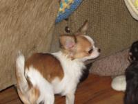Champion Sired AKC Longcoat Female Chihuahua. She is