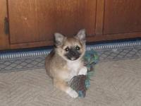 Home raised AKC longcoat Chihuahua puppies are