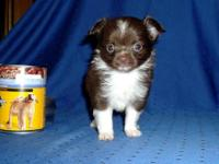 Beautiful, longcoat, AKC Chihuahua puppies available as