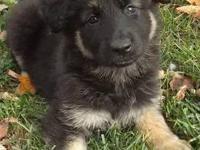 AKC Longcoat German Shepherd Puppies. Taya/Riddick pups
