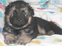 Ziva x Bear AKC German Shepherd Puppies! Pups are here!