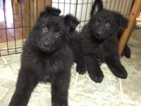 AKC registered Solid black male and female longhair
