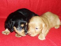 Beautiful AKC male and female dachshunds born July 4th