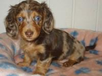 AKC longhair miniature dachshunds. Ready 8/31/12.