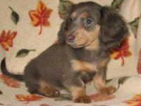 We have one AKC longhair blue/tan female pup offered.