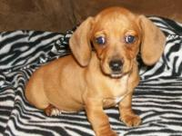 I have 3 male longhaired miniature dachshund available