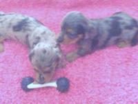 Beautiful longhaired miniature dachsund puppies.