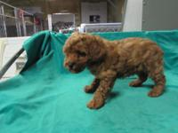 2 Mahogany red miniature male poodles, moms and dads
