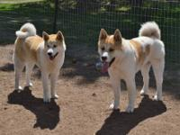 AKC Akita puppies were born on 6/20/13. Very Heavy