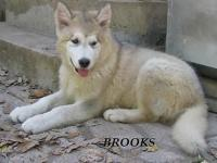 AKC Brooks is a very good-looking male. All our young