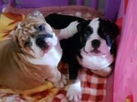 english bulldog puppies available now at our home and