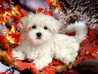 AKC registered male and female Maltese puppies ready