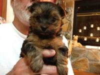 1 Male Pup available in Jan. AKC, Tails docked and dew