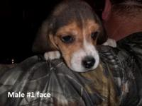 Purebred AKC registered Beagle puppies born Oct. 13th.
