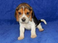 Beautiful akc reg. tri. color male beagle puppy. He is