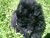 1- BLACK MALE POMERANIAN PUPPY HAS WHITE TIPPED FEET