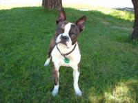 Hi I have a AKC Male Boston Terrier Service for your