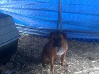 Akc registered male boxer 2 years old, mahogany and