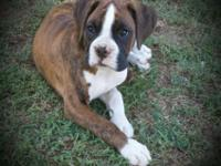 """""""Nova"""" is 4 months old, Akc registered, up to date on"""