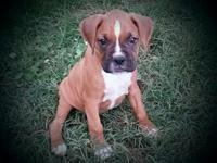 Akc registered male boxer puppy from health tested