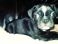 Akc brindle male pug puppy. He is ready for his new