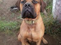 1 years of age akc male bullmastiff. paper's are not in