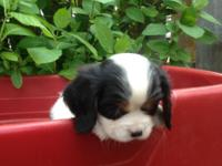 I have one AKC Cavalier male puppy all set for his