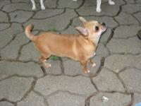 RUGER is a beautiful Red smooth coat Chihuahua with a