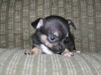 We have several beautiful , healthy Chihuahua male pups