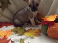 I have 2 tiny male chihuahuas born 9/8/14. Vet checked