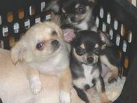 AKC male Chihuahua puppy born 12/11/12. Beautiful long