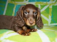 AKC MINI DACHSHUND MALE: RED/CREAM PIEBALD LONG HAIR.