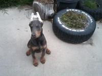 AKC limited Euro/American bred black male Doberman