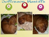 Akc registered Litter of Dogue De Bordeaux puppies were