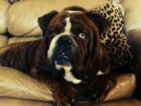 We have an english bulldog, we are rehoming. He is