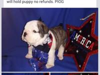 AKC English Bulldog puppies they are 4 wks old will be
