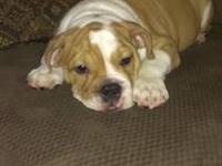 13 week old male english bulldog pups ready for new