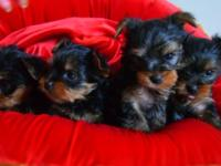 AKC Male & females Teacup Yorkie Puppies I have 5