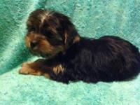AKC Male & Females Yorkshire Terrier (Yorkie) Puppies
