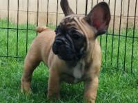 Full AKC Registration Available now, 10 weeks old Date