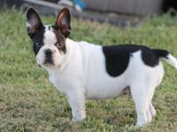 Nice AKC French Bulldog male that has already been