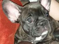 I have an 8 week old male french bulldog baby looking
