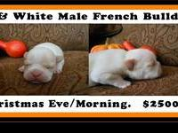 AKC reg. Male French Bulldog. He is Cream and White .