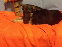 I am a male AKC German Shepherd. This pup has been